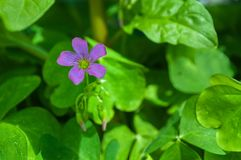 Single purple flower and out of focus green background royalty free stock photography