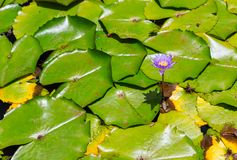 Purple hawaiian lotus flower. Single purple Hawaiian lotus flower above dense green leaves floating on water surface, shot in full frame from high angle Stock Image