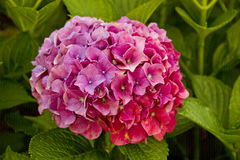 Single purple hydrangea flower Stock Photos