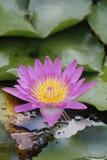 Single purple Lotus Royalty Free Stock Photo