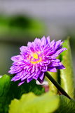 Single purple Lotus Royalty Free Stock Photography