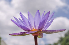 Single Purple Lotus. Single lotus flower on the sky stock photo