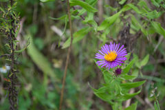 Single Purple New England Aster Wildflower Of Ontario. Edible wildflowers of Ontario, Canada. Vibrant beautiful herbaceous plants and flora. Natural healing Stock Photography