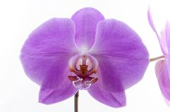 Single purple orchid Royalty Free Stock Photos