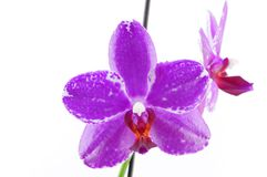 Single purple orchid with white pattern Stock Image