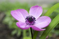 Single purple ornamental anemone coronaria de caen in bloom royalty free stock photos