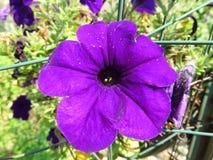 Single Purple Petunia Flower Royalty Free Stock Photos