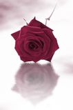 Single purple rose. Purple single rose on a white background stock images
