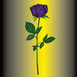 Single purple rose Stock Photo