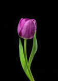 Single Purple Tulip flower with water drops on a black backgroun Stock Photos