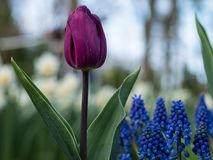 Single purple tulip in front of blurred out flower field in the park stock photography