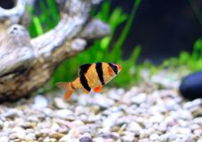 Single quarium fish-Barbus. Royalty Free Stock Photos