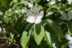 Single quince flower with white petals and small pistils Royalty Free Stock Images