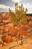 Single Quirky Tree in Bryce Canyon Park. Single Quirky Tree in Bryce Canyon National Park Stock Photos