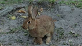 Single Brown Rabbit. Single rabbit with brown fur searches for food on the ground 1080p, 25 fps stock footage