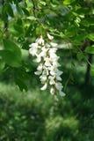 Single raceme of flowers of Robinia pseudoacacia. Tree Royalty Free Stock Photos