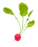Single radish Royalty Free Stock Photo