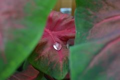 Single Raindrop on Leaf. A single raindrop on a red and green leaf Stock Photography
