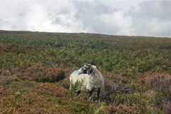 Single ram alone on field looking back stock photography