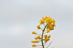 Single seed oil plant detail. Yellow seed oil plant against grey stormy sky stock photos