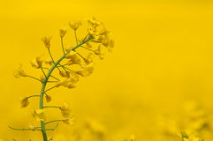 Single rape seed plant against yellow crop Stock Image