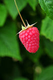 Single Raspberry Royalty Free Stock Photography