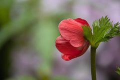 Single red anemone blooming in garden during early spring day. Anemone flowers blooming bright red in the garden during spring royalty free stock images