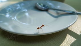 Single red ant on a dish Royalty Free Stock Images