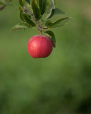 Single Red Apple on Green Background. This single red apple from the Michigan apple orchard stands out against the dark green background as to say pick me stock photo