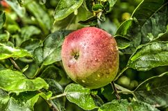 Single red apple. One single ripe red apple growing on a tree royalty free stock photos