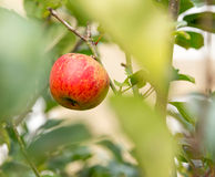 Single red apple in out of focus leaves of tree royalty free stock photography