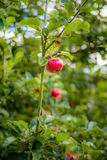 Single red apple. On tree branch Royalty Free Stock Images