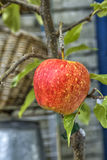 Single red apple on tree. Single red apple growing on small tree royalty free stock images