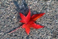 Single Red Autumn Leaf Stock Image