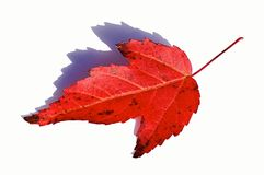 Single red autumn leaf of decorative maple tree Acer genus on white background Stock Image