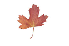 Single red autumn leave isolated on white Royalty Free Stock Photography