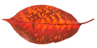 Single red autumn leaves Royalty Free Stock Photography