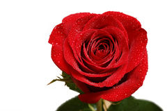 Single red button of rose with drops of dew isolated on white Royalty Free Stock Photography