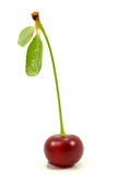 Single red cherry Stock Image