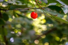 Single red cherry on a branch, cherry tree stock photo