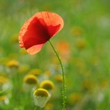 Single red corn poppy blossom Stock Photos