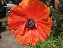 Single red corn poppy flower close up. Single colorful red corn poppy flower close up viewed from above growing in a garden Royalty Free Stock Photography