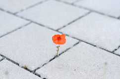 Single red corn poppy sprouting between paving Stock Image