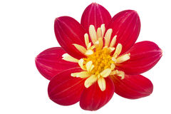 Single red Dahlia flower, isolated Stock Images