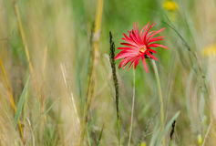Single red daisy in veld Stock Photos