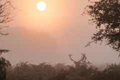 Single Red Deer stag Cervus elaphus displaying at sunrise Stock Photography