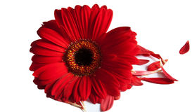Single Red Dhalia. Bright fresh Red Dhalia isolated with loose fallen petals Royalty Free Stock Photo
