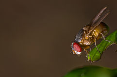 Single red eyed fly on a leaf Royalty Free Stock Photography