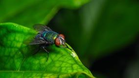 Single red eyed fly  macro close up shot. Single red eyed fly on leaf macro close up shot Stock Images
