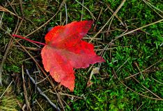 Single red fall leaf Royalty Free Stock Photos